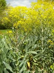 pastel des teinturiers fleur sauvage jaune