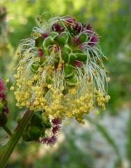 petite pimprenelle fleur sauvage rouge