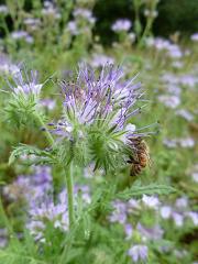 Phacélie fleur mauve