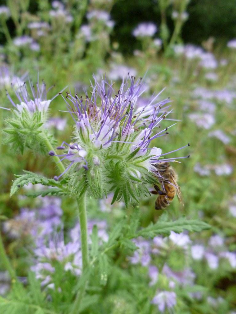 fleurs de phacélie