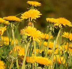 pissenlit fleur sauvage jaune