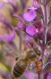 salicaire et abeille