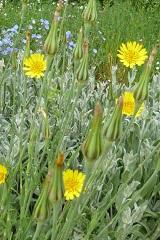 Salsifis des prés fleurs sauvages jaunes