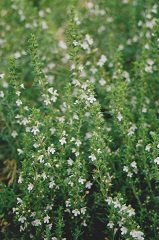 sarriette vivace fleur sauvage blanche