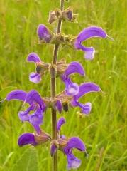sauge des prés fleur sauvage violette