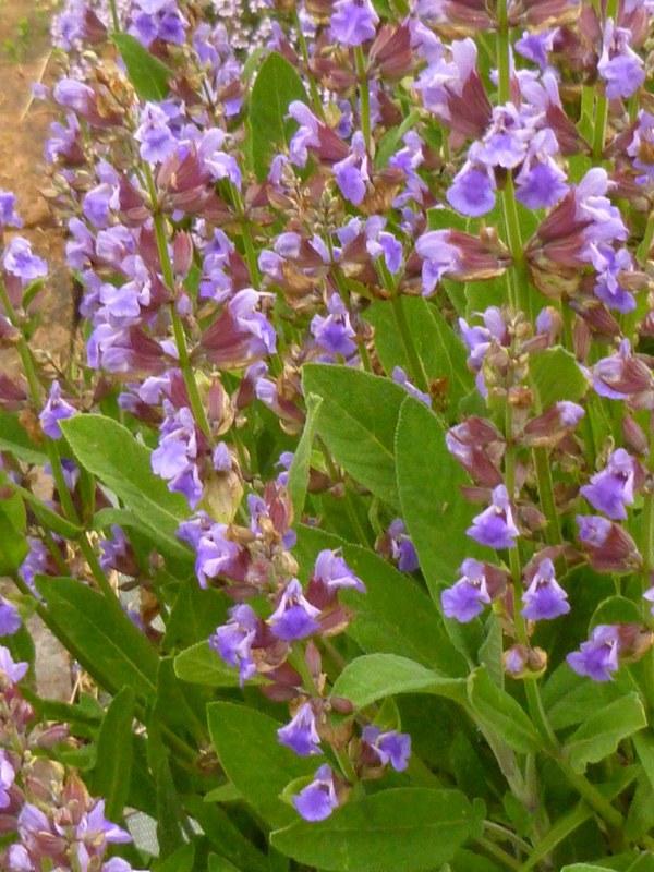 fleurs de sauge officinale