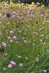 scabieuse colombaire fleur sauvage mauve