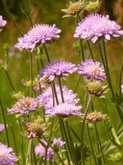 scabieuse des champs fleur sauvage mauve