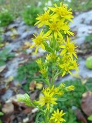solidage des bois fleur sauvage jaune