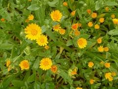 souci des champs fleur sauvage orange