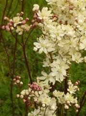 spirée filipendule fleur sauvage blanche