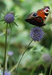 Succise des prés et papillon