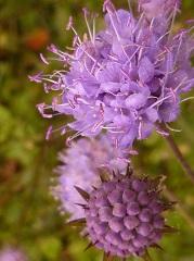 succise des prés fleur sauvage violette
