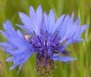 fleurs sauvages bleues