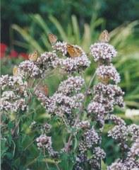Fleurs à papillons 5 gr