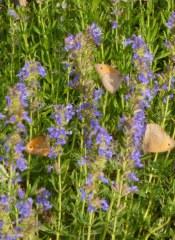 Fleurs à papillons 25 gr