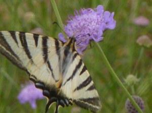 Fleurs à papillons 50 gr