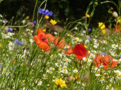 Fleurs des champs 5 gr