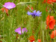 Fleurs des champs 25 gr