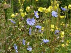 Jachère fleurie 5 gr