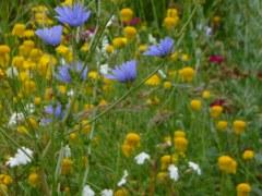 Jachère fleurie 25 gr