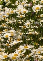 Fleurs sauvages type marguerite