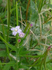 Epilobe à petites fleurs