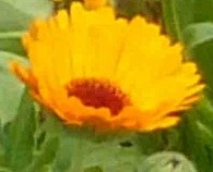 fleurs sauvages oranges