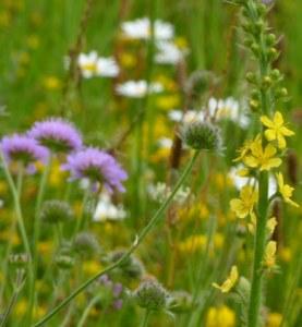 Prairie fleurie 25 gr