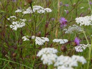 Prairie fleurie 50 gr