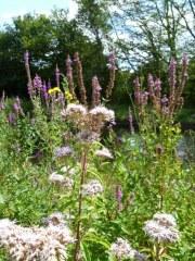 Fleurs des rives et prairies humides 5 gr