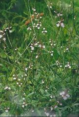 Verveine officinale fleurs sauvages mauves